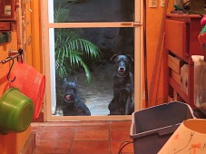 Midnight, Mom! Time to come up to the house. Whenever i'm in the studio, Morrie and Diego keep a vigil outside the door but they draw the line at hours after midnight.