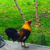 And this fine fellow was strutting around yet another terrace restaurant in Ajijic.