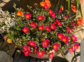 Portulaca grandiflora love the sun, close into a tight fist without sun.