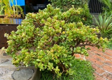 Nearby was a large-leaf jade plant I'd been meaning to trim back