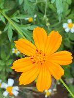 Banks of golden flowers
