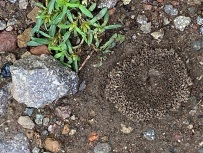 In the path lies the circular mounded artistry of ants that signals that new and private world they've cleared out for themselves below.